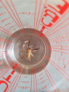 Une grosse araignée morte